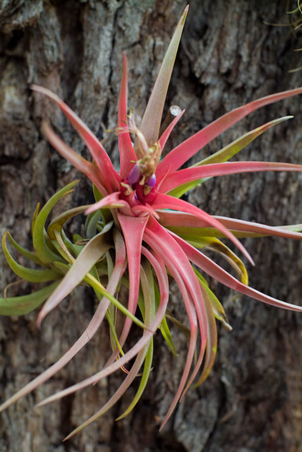 Tillandsia brachycaulous hybrid catalogue of bromeliad plants Tillandsia hybrids