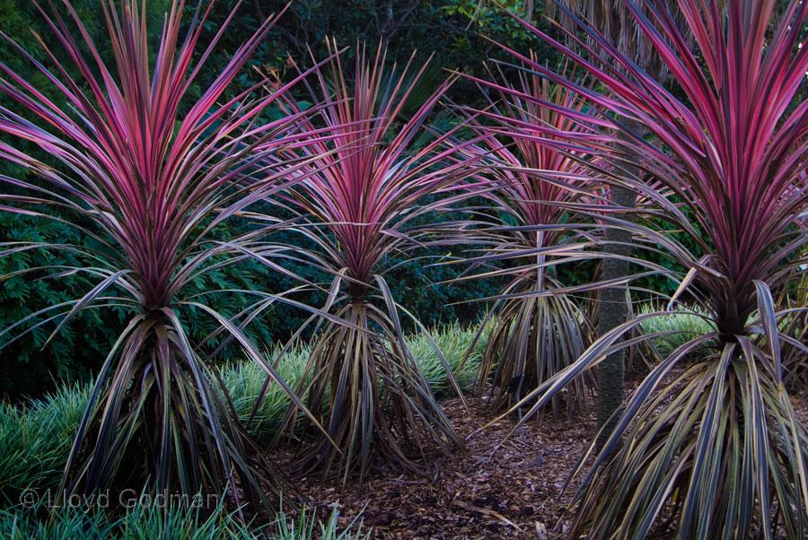 Cordyline australis, Sydney, Botanical Gardens - photograph - © Lloyd ...: www.lloydgodman.net/library/Gardens10.html