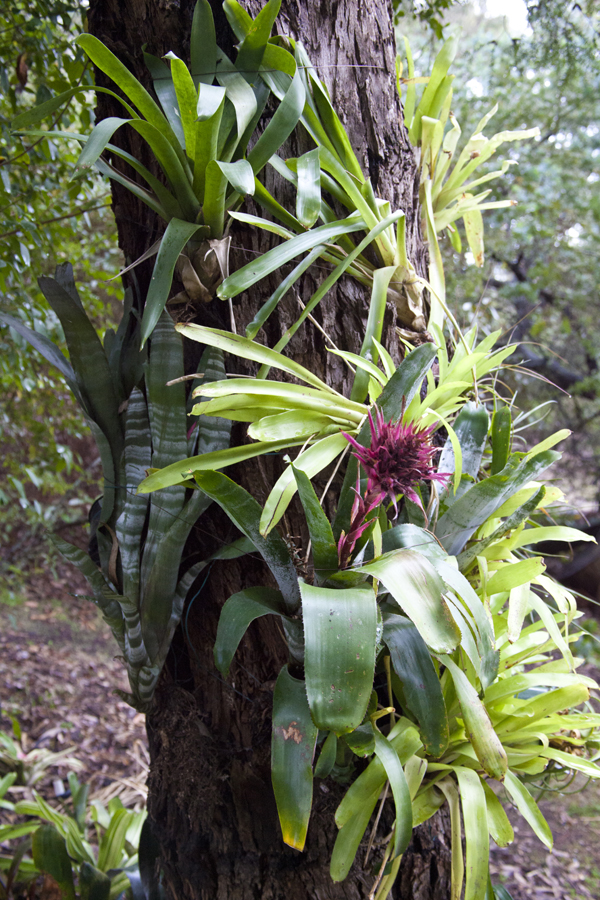 Bromeliads How To Keep The Color Going: Bromeliads For Sale Melbourne, Victoria